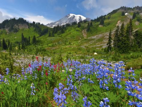 Wildflowers on Meadows, Mount Rainier National Park, Washington, USA Photographic Print