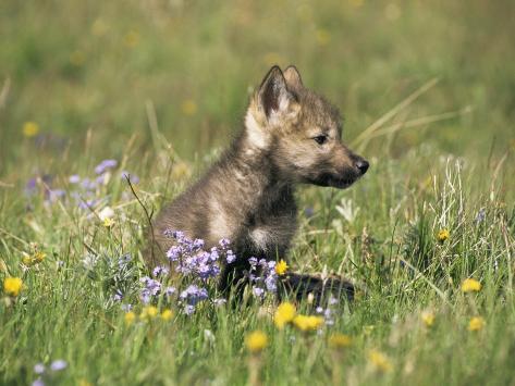 Grey Wolf Pup Amongst Flowers, Montana, USA Photographic Print