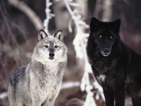 Grey Wolves Showing Fur Colour Variation, (Canis Lupus ...
