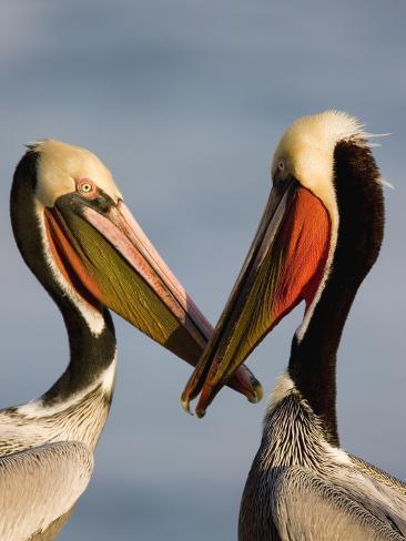 Brown Pelican (Pelecanus Occidentalis) Pair Interacting, California Photographic Print