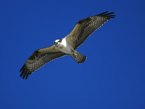 Osprey (Pandion Haliaetus) in Flight, Long Island, New York Photographic Print