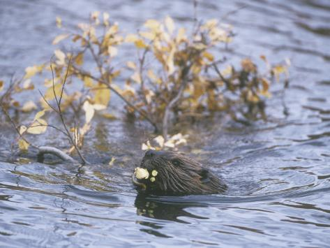 Beaver Swimming with Recently Cut Branch Gathered for Food (Castor Canadensis), North America Fotoprint