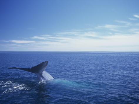 Blue Whale Diving with Only its Fluke Visible (Balaenoptera Musculus) Photographic Print
