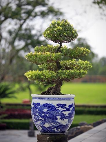 Bonsai Tree at Thai Hoa Palace Photographic Print