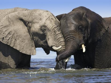 Two African Elephants Playing in River Chobe, Chobe National Park, Botswana Photographic Print