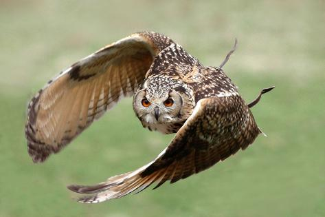 Eagle Owl in Flight Photographic Print