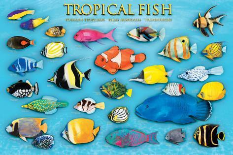 Tropical Fish Prints - at AllPosters.com.au