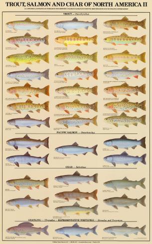 Trout, Salmon & Char of North America II Art Print