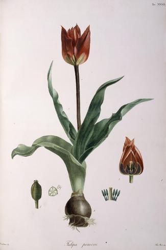 Tulipa Praecox, 1811-1829 Stampa giclée