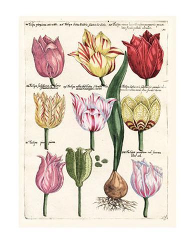 Tulips en Masse II Giclee Print
