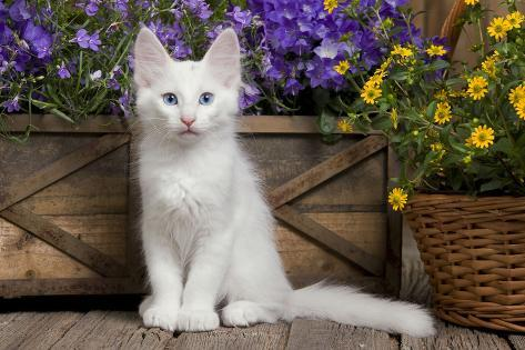 83e54c2f49f61c Turkish Angora Kitten Photographic Print at AllPosters.com