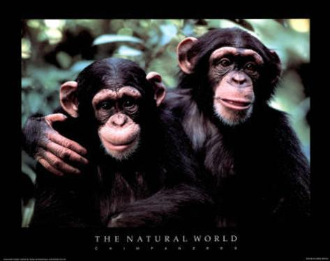 Two Chimps The Natural World Art Print Poster Mini Poster