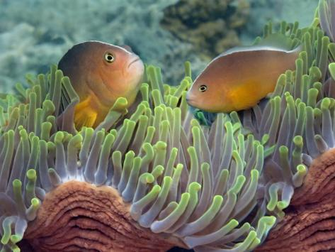 Two Skunk Anemone Fish and Indian Bulb Anemone Photographic Print