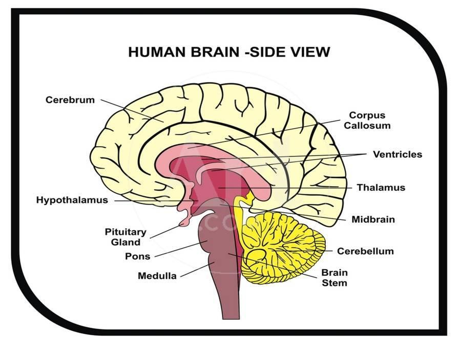 Human Brain Diagram Print By Udaix At Allposters