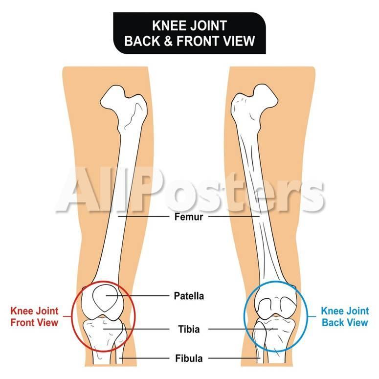 Knee Joint Bones Femur Tibia Fibula Patella Prints By Udaix