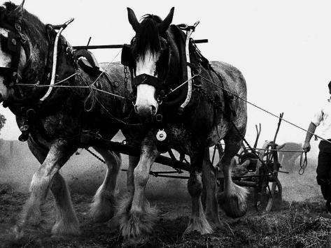 Ulster Clydesdale Pulling a Plough, July 1983 Photographic Print