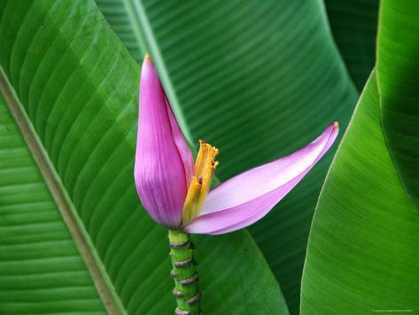 Banana Flower Photographic Print