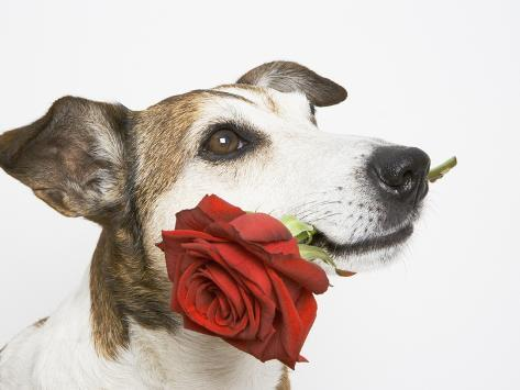 Dog with Red Rose Photographic Print