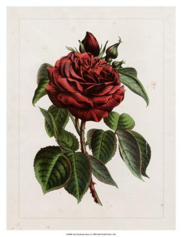 Van Houtteano Rose I Art Print