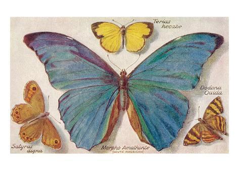 Varieties of Butterfly Art Print