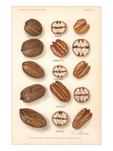 Varieties of Pecan and Walnut Premium-giclée-vedos