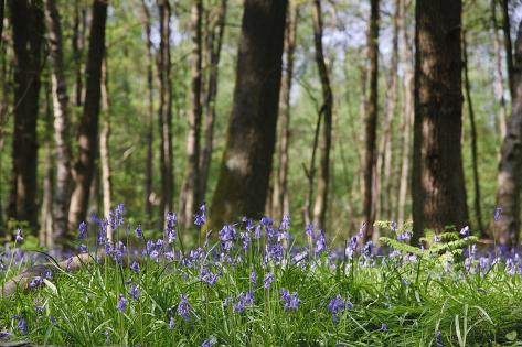 Beautiful Image of Bluebells Woods from Very Low Point of View Photographic Print