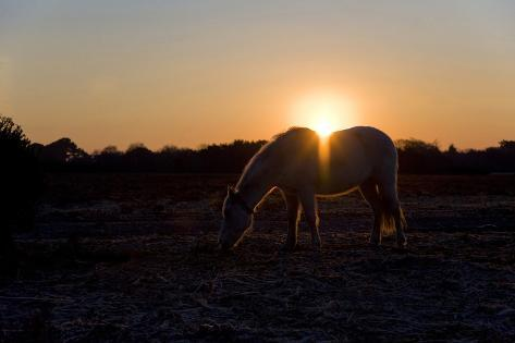 New Forest Pony Silhouette against Sunrise Photographic Print