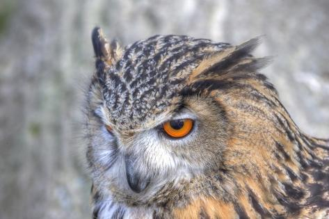 Superb close up of European Eagle Owl with Bright Orange Eyes and Excellent Detail Photographic Print