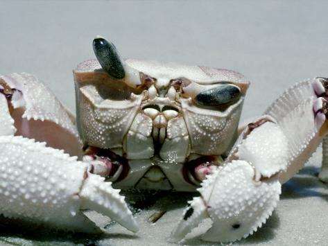 Crab, Shows Independent Eye Movement Photographic Print