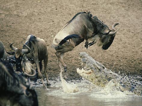 Nile Crocodile, Attacks Wildebeest, Serengeti, Tz Photographic Print