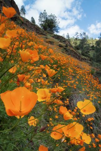 Spring Poppy Hillside, Merced Valokuvavedos