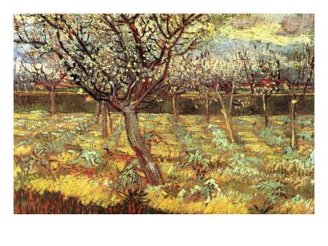 Apricot Trees In Blossom Art Print