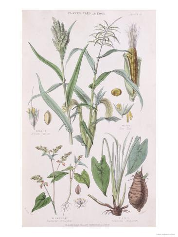 Millet, Maize, Buckwheat and Taro, from A History of the Vegetable Kingdom by William Rhind Giclee Print