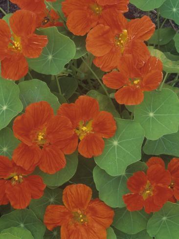 Nasturtium Flowers (Trapaeolum), Dwarf Whirlybird Variety Photographic Print