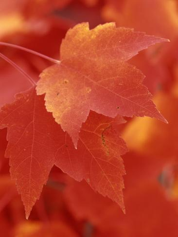 Red Maple Leaves in the Fall (Acer Rubrum) Photographic Print
