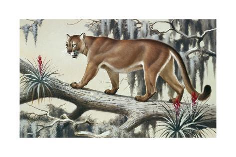 A Puma Slinks Along a Log in Moss-Hung Everglades Lámina giclée por ...