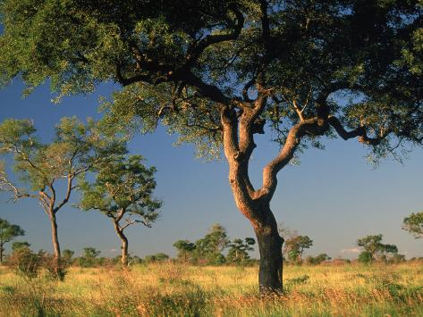 acacia trees, kruger national park, south africa photographic printacacia trees, kruger national park, south africa photographic print by walter bibikow at allposters com