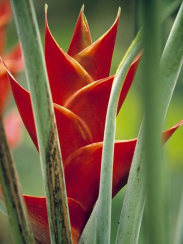 Helliconias, Rarotonga, Cook Islands Photographic Print