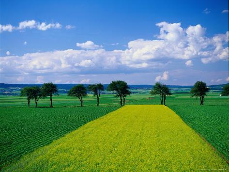 Mustard Field, Lower Austria Photographic Print