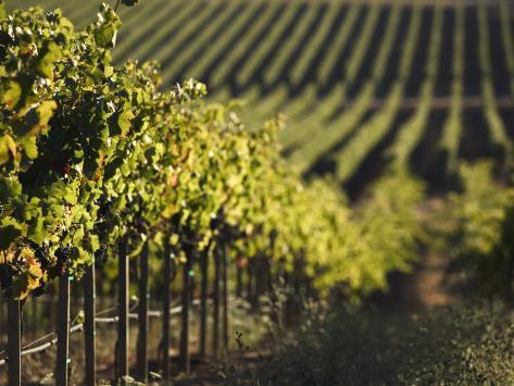 Vineyard, Napa, Napa Valley, California, USA Photographic Print