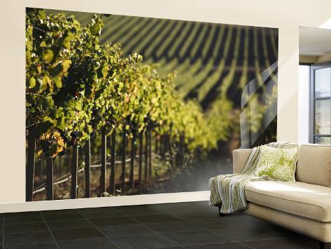 Vineyard, Napa, Napa Valley, California, USA Wall Mural – Large