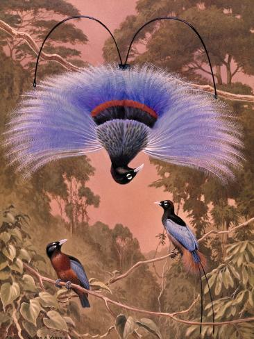 Blue Bird of Paradise Performs Courtship Display Hanging Upside Down Photographic Print