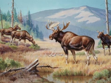 Bull Moose Jealously Guards His Harem Photographic Print