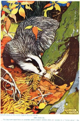 The Badger, from 'The New Natural History', by John Arthur Thompson (1861-1 Giclee Print