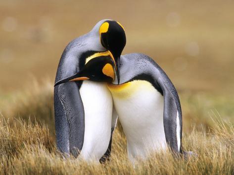 Mating King Penguins (Aptenodytes Patagonicus) Volunteer Point, Falkland Islands, Southern Atlantic Photographic Print