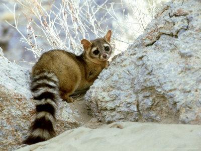 Ringtail Cat Usa Photographic Print By Wendy Shattil