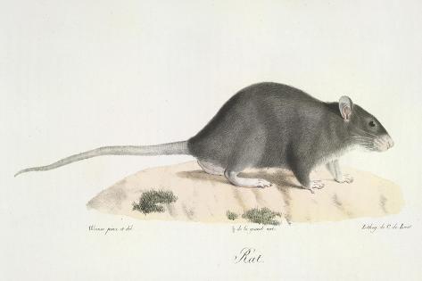 A Rat Giclee Print