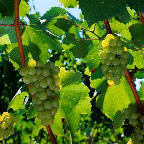 Chardonnay Grapes from the Napa Valley in California, Napa Valley, California, USA Photographic Print