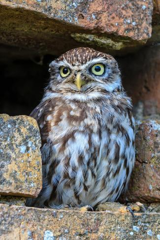 Little Owl in A Hole in A Wall Photographic Print