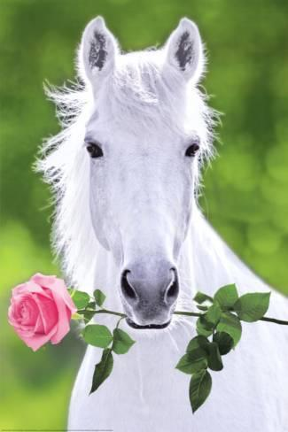 White Horse Holding Pink Rose Art Poster Print Photo At Allposters Com